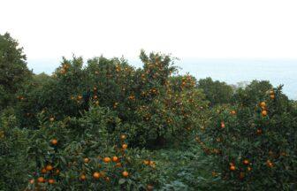 matumoto農園