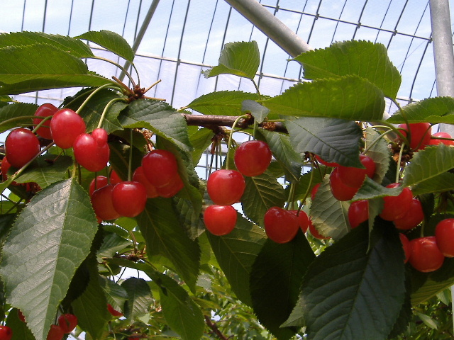 桜マルトモ農園